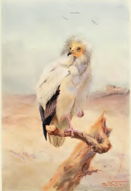 egyptian-vulture.png